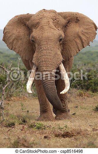 elefant, afrikaan, stier - csp8516498
