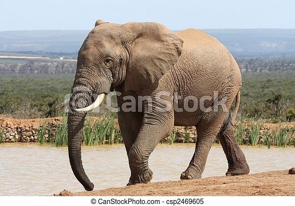 elefant, afrikaan, stier - csp2469605