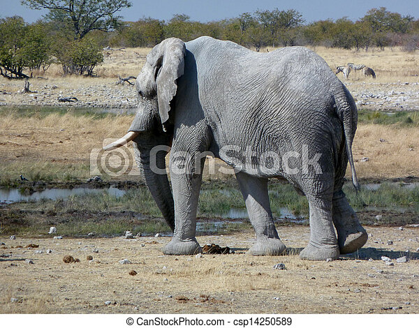 elefant, oud, afrikaan, stier - csp14250589