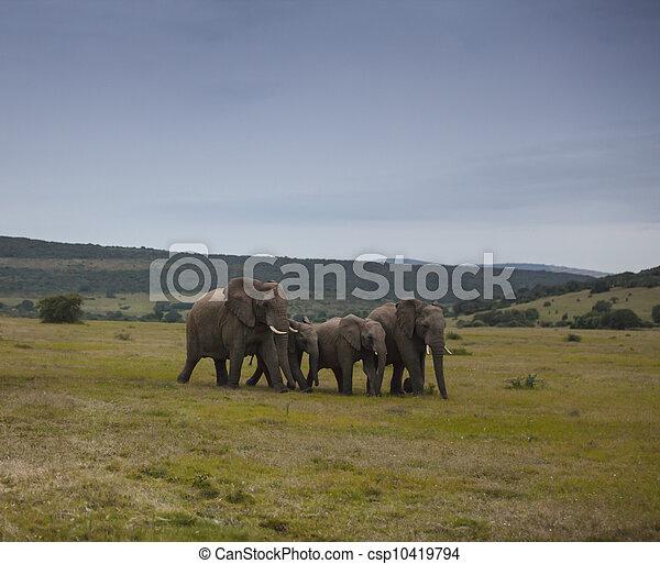 elefant, wandeling - csp10419794