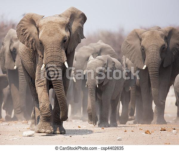 elefante, gregge - csp4402635