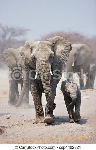 elefante, gregge - csp4402321