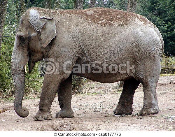 elefante indiano - csp0177776