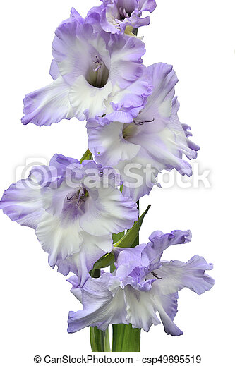 Elegant and gentle white gladiolus flower with lilac edges close up elegant and gentle white gladiolus flower with lilac edges csp49695519 mightylinksfo