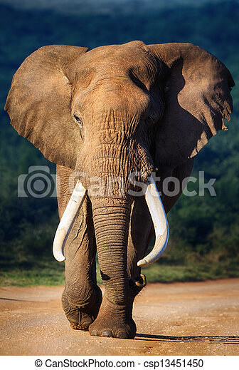 Elephant approaching - csp13451450