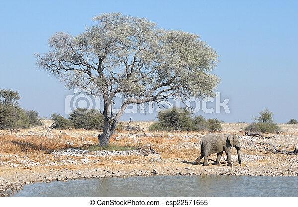 Elephant at Okaukeujo - csp22571655