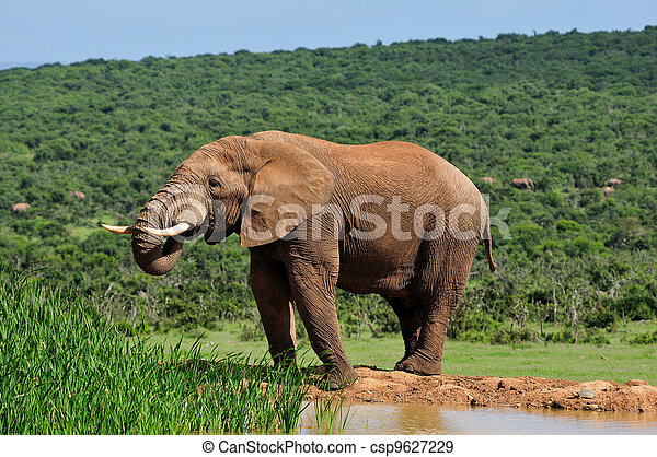 Elephant drinking water at Harpoor Dam, Addo Elephant National Park, South Africa - csp9627229