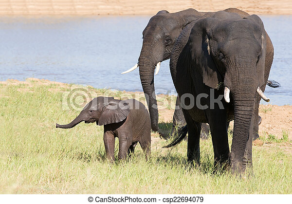 Elephant herd walking over grass after drinking water on hot day - csp22694079