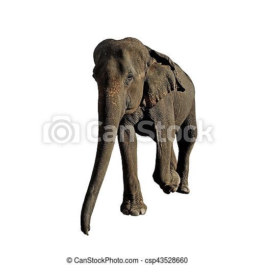 elephant isolated on white background - csp43528660