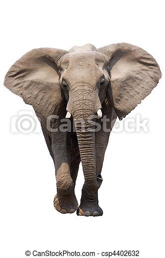 Elephant isolated - csp4402632