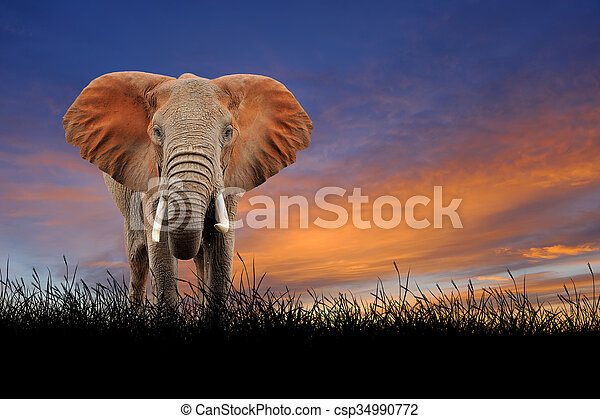 Elephant on the background of sunset sky - csp34990772