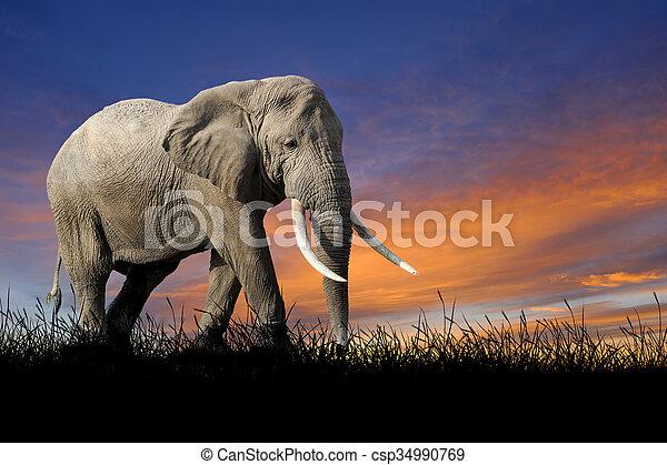 Elephant on the background of sunset sky - csp34990769