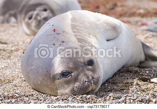 Elephant seal on beach close up, Patagonia, Argentina - csp73179017