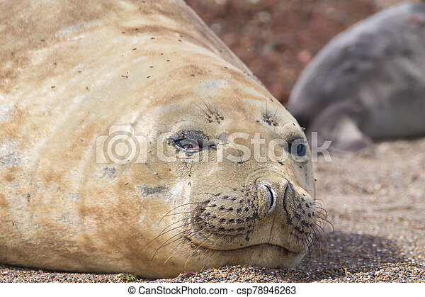 Elephant seal on beach close up, Patagonia, Argentina - csp78946263