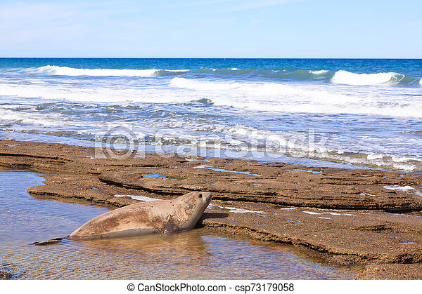 Elephant seal on beach close up, Patagonia, Argentina - csp73179058