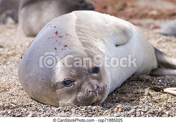 Elephant seal on beach close up, Patagonia, Argentina - csp71885025