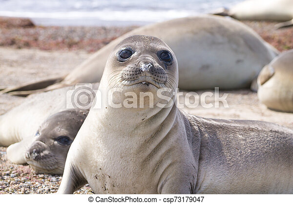 Elephant seal on beach close up, Patagonia, Argentina - csp73179047