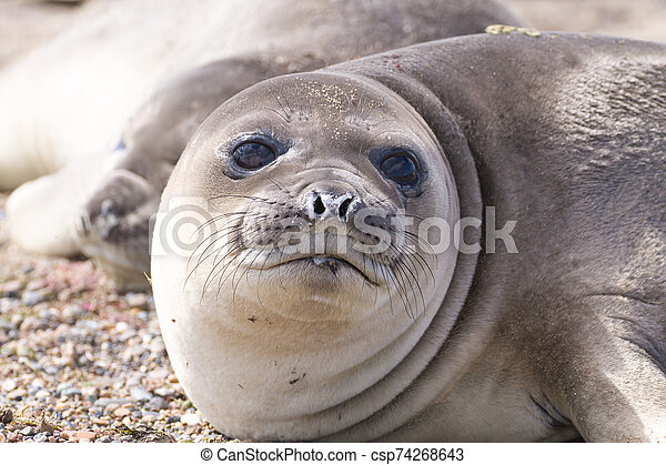 Elephant seal on beach close up, Patagonia, Argentina - csp74268643