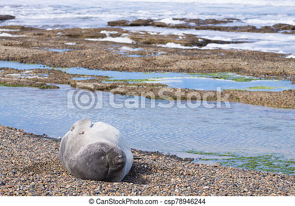 Elephant seal on beach close up, Patagonia, Argentina - csp78946244
