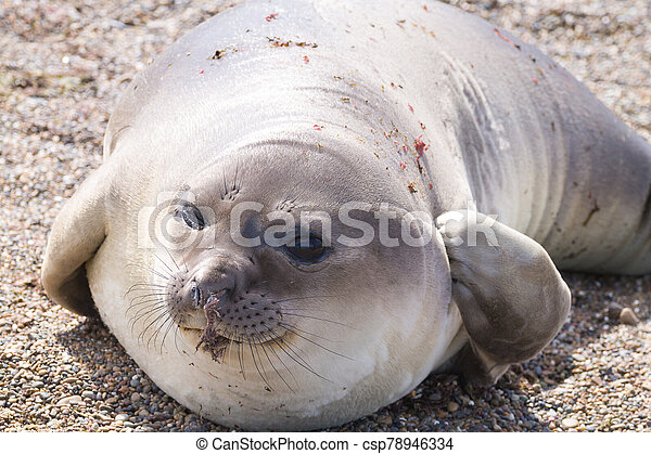 Elephant seal on beach close up, Patagonia, Argentina - csp78946334