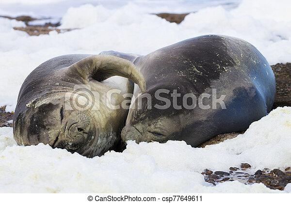 Elephant seals on beach close up, Patagonia, Argentina - csp77649611
