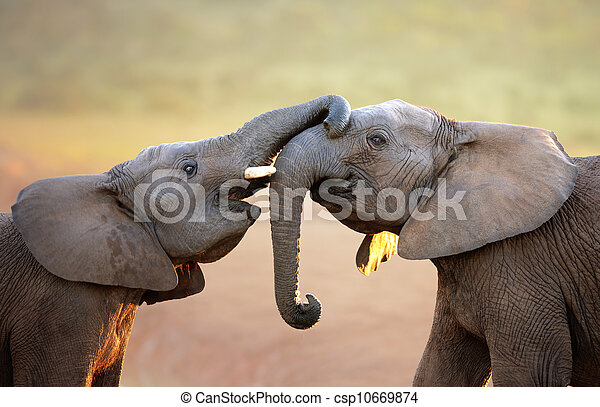 Elephants touching each other gently (greeting) - csp10669874