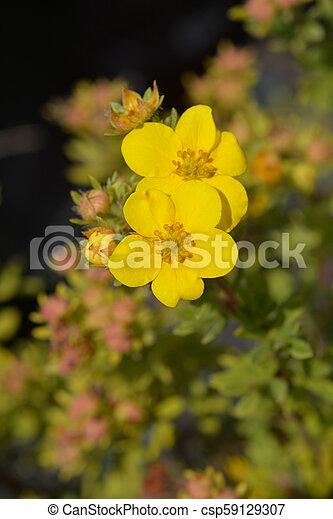 Elizabeth cinquefoil yellow flowers latin name potentilla elizabeth cinquefoil yellow flowers latin name potentilla fruticosa elizabeth mightylinksfo