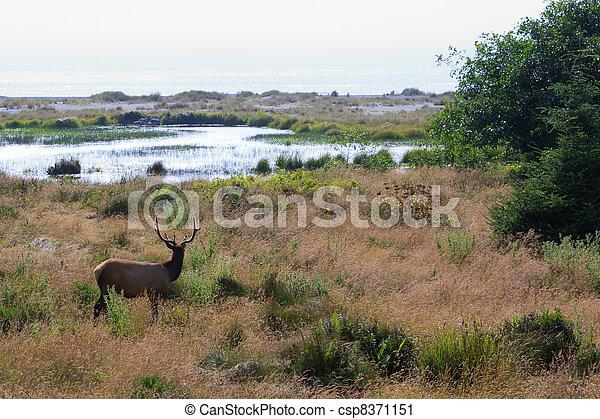 Elk looking at ocean - csp8371151