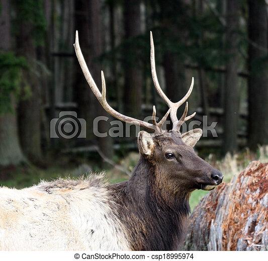 Elk. Photo taken at Northwest Trek Wildlife Park, WA. - csp18995974
