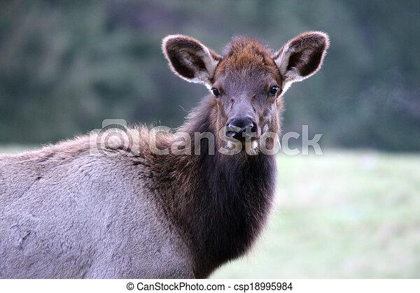 Elk. Photo taken at Northwest Trek Wildlife Park, WA. - csp18995984