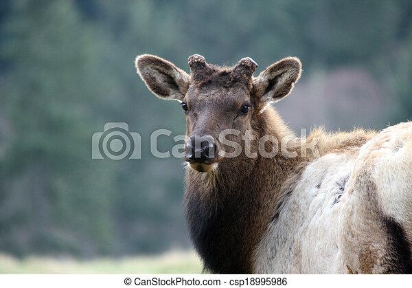 Elk. Photo taken at Northwest Trek Wildlife Park, WA. - csp18995986