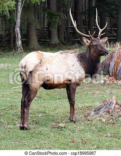 Elk. Photo taken at Northwest Trek Wildlife Park, WA. - csp18995987