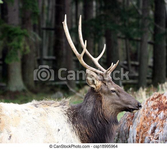 Elk. Photo taken at Northwest Trek Wildlife Park, WA. - csp18995964