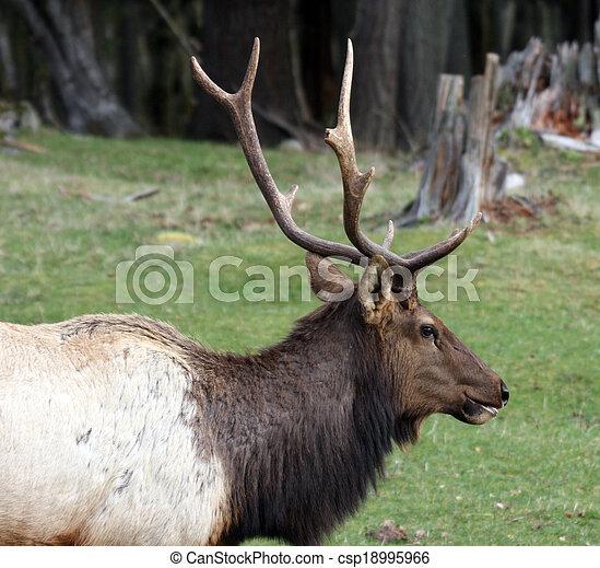 Elk. Photo taken at Northwest Trek Wildlife Park, WA. - csp18995966