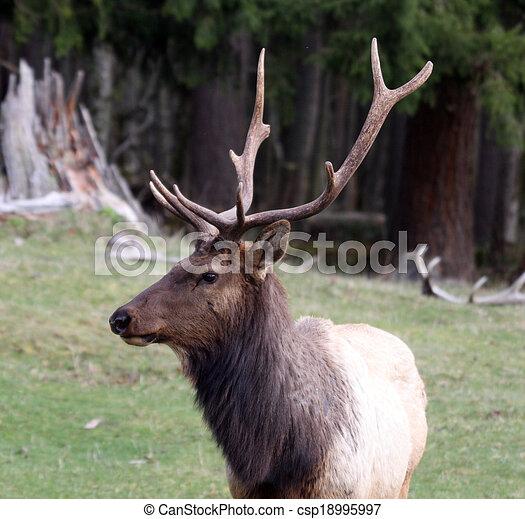 Elk. Photo taken at Northwest Trek Wildlife Park, WA. - csp18995997