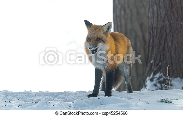 Elusive shy Red Fox, (Vulpes vulpes), visits on winter day. - csp45254566