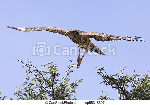 emale Pale Chanting Goshawk sitting in a tree against blue Kalahari sky - csp55318607