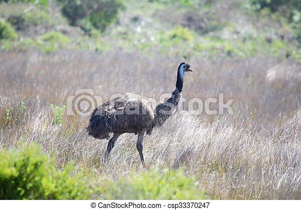 Emu (Dromaius novaehollandiae) - csp33370247