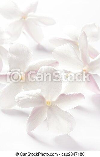 Flores de jazmín sobre fondo blanco - csp2347180