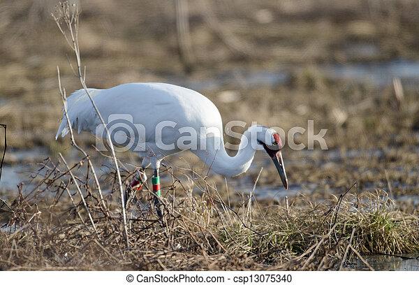 Endangered whooping crane - csp13075340