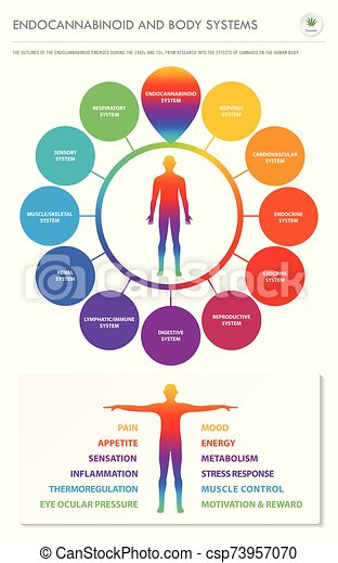 Endocannabinoid and Body Systems vertical business infographic - csp73957070