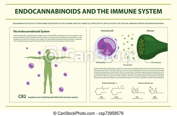 Endocannabinoids and the Immune System horizontal infographic - csp73958579