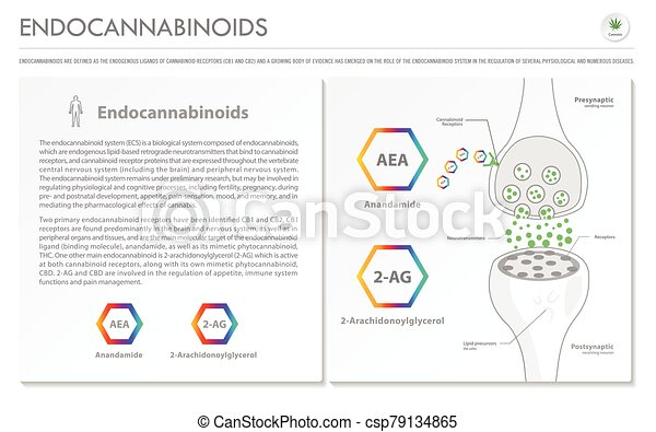 Endocannabinoids horizontal business infographic - csp79134865