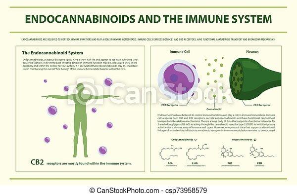 endocannabinoids, imune, infographic, sistema, horizontais - csp73958579