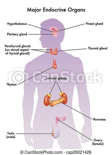 Endocrino, sistema. Endocrino, mayor, órganos, ilustración médica.