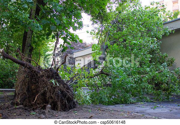 endommagé, déraciné, après, arbre, orage, vent - csp50616148