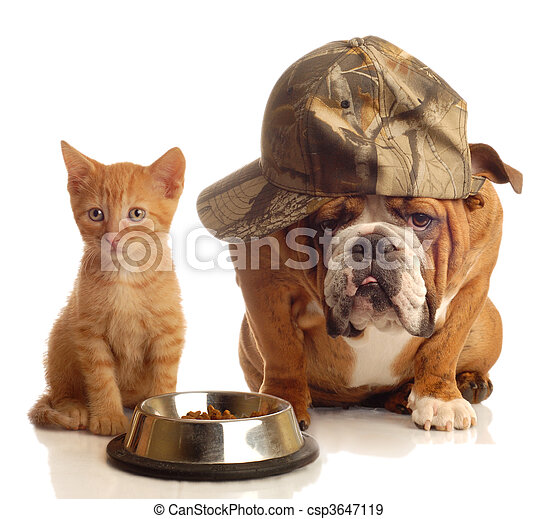 english bulldog and orange kitten  - csp3647119