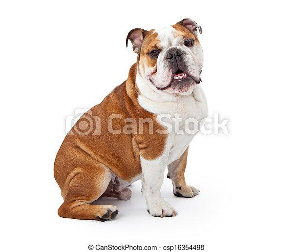 English Bulldog Sitting  - csp16354498
