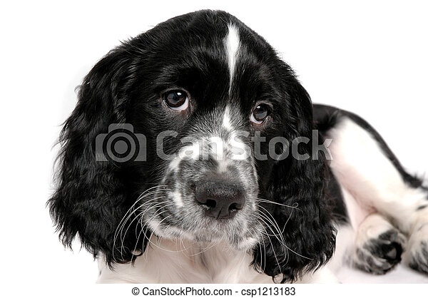 Black And White Springer Spaniel Puppies