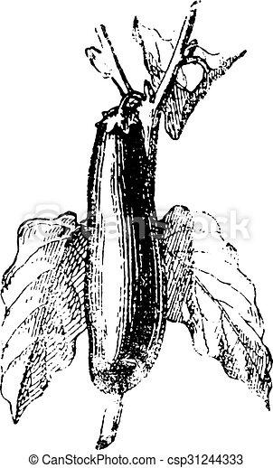 engraving., ナス, 型 - csp31244333